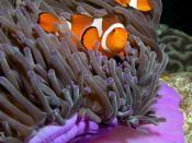 English: Purple anemone (Heteractis magnifica) and resident anemonefish (Amphiprion ocellaris) (clownfish) in East Timor. Tiếng Việt: Một đôi cá hề Ocellaris (Amphiprion ocellaris) trong bụi hải quỳ. Ảnh chụp ở Đông Timor.