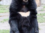 Animal species: Asiatic Black Bear (Wrocław zoo) Polski: Niedźwiedź himalajski (Ogród Zoologiczny we Wrocławiu) Deutsch: Asiatischer Schwarzbär (Zoologischer Garten Breslau)