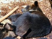 English: A sleeping Japanese black bear. Ursus thibetanus japonicus.