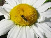Thrips and syrphid fly on daisy.