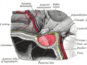 The anterior pituitary is the anterior, glandular lobe of the pituitary gland.