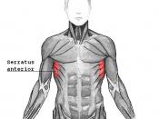 English: Serratus anterior muscle Svenska: Serratus anterior är en skelettmuskel på utsidan av bröstkorgen.