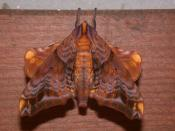 Small-eyed Sphinx, Paonias myops