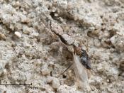 English: A camouflaged Menemerus sp Jumping spider with a captured male ant. Photographed in Dar es Salaam, Tanzania. Deutsch: Eine getarnte Springspinne mit einer erbeuteten männlichen Ameise. Fotografiert in Daressalam, Tansania.