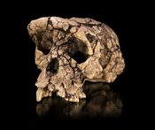English: Cast of the Sahelanthropus tchadensis holotype cranium TM 266-01-060-1, dubbed Toumaï, in facio-lateral view. ::Specimen of of Anthropology Molecular and Imaging Synthesis of Toulouse. ::Size 182,5x105x97 mm Français : Moulage du crâne holotype d