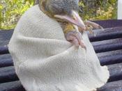 Florida Scrub Jay like Yoda