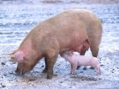 An iteroparous organism is one that can undergo many reproductive events throughout its lifetime. The pig is an example of an iteroparous organism