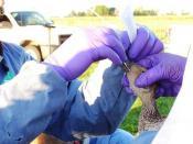 Avian Influenza Sampling