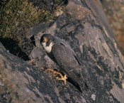 Peregrine Falcon on rock.