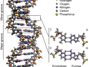 English: The structure of DNA showing with detail showing the structure of the four bases, adenine, cytosine, guanine and thymine, and the location of the major and minor groove.
