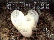English: Venus' Flower Basket (Euplectella aspergillum) Deutsch: Gießkannenschwamm (Euplectella aspergillum)