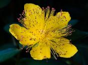 Rose of Sharon in Britain and Australia, Aaron's beard, Great St-John's wort or Jerusalem star