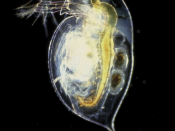 "Daphnia pulex, a Species Waiting in the Wings to Achieve ""Model"" Status."