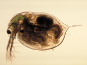 Experiments with Daphnia magna, the water flea, show that traditional extinction models may be underestimating extinction risk.