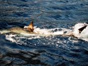 English: A great white shark at Isla Guadalupe, Mexico. The picture is a digital copy of my old film picture.
