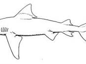 A sketch of a bull shark