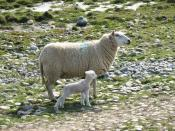 English: Ewe and new born lamb on the shingle bar at Hen Borth His first few days have been days of unbroken sunshine. The cold spell of next week will come as a shock to the little one.