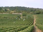 Français : vendanges à Meursault (Bourgogne)