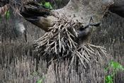 Arial roots (Pneumatophores) of the grey mangrove Avicennia marina var resinifera - Barker Inlet, South Australia