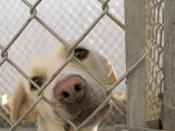 Photo of a dog behind a chain-link fence at the Paws and More No Kill Animal Shelter in Washington, Iowa. I took this picture. This looks just like my dog Yuma. He was from a shelter in Evanston Il.