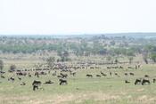 Wildebeest on the Serengeti plains