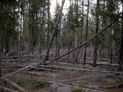 1965: typical Yellowstone lodgepole pine forest.