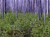 S. brevipes appears early in the succession of mycorrhizal fungi during the regrowth of pine after wildfire.