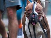 An American Pit Bull Terrier muzzled. Español: Un Pit Bull Terrier Americano con bozal.