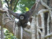 White Handed Gibbon at Cincinnati Zoo