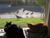 Turkeys in Folsom