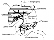 Digestive system diagram showing bile duct location.