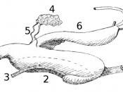 English: Drawing of the digestive system of Schizoglossa novoseelandica. 1 = mouth, 2 = pharynx, 3 = retractor muscles of the pharynx, 4 = salivary glands, 5 = salivary ducts, 6 = oesophagus and stomach, 7 = intestine, 8 = hepatic ducts.