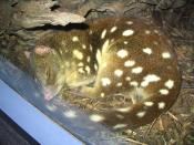 English: Spotted-tail quoll (Dasyurus maculatus) sleeping near the window of the nocturnal animals exhibit at Sydney Wildlife World.