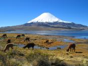 A lot of llamas and alpacas at Lauca National Park, with Parinacota Volcano in the background.