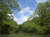 Mangrove and woodland near the Amazon river - Salinopolis - Para - Brazil