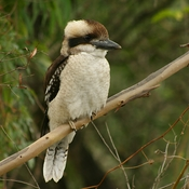 English: A juvenile Laughing Kookaburra (Dacelo novaeguineae) in suburban Sydney. Compared to adults, juveniles have shorter bills with a dark underside, and a pronounced white edging to the feathers on the mantle and wings.