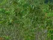 English: Secondary succession in Imperata grassland area