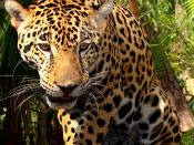 English: A three-year-old jaguar kept at the Belize Zoo, west of Belize City, Belize.
