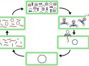 English: bacteriophage lysogenic and lytic cycle
