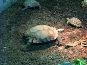 Asian Brown Tortoise / Burmese Star Tortoise