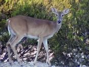 English: White-tailed deer doe