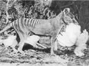 Tasmanian Tiger (Thylacine) photographed in cage with chicken by Henry Burrell. Cage cropped out.
