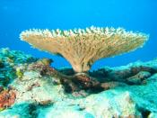 English: Table coral of genus Acropora (Acroporidae) at French Frigate Shoals, Northwestern Hawaiian Islands