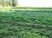 English: Organic cultivation of mixed vegetables on an organic farm in Capay, California.