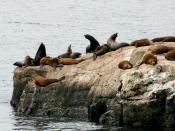 California Sea Lion (Zalophus californianus) seen in Santa Cruz, California.