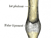 Metacarpophalangeal articulation and articulations of digit. Volar aspect.