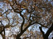 The gnarled branches of a majestic old oak tree, Quercus lobata, in Thousand Oaks, California.