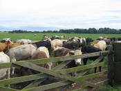 English: Curious Cattle Mixed farming prevails in the area interspersing fields of crops with those of livestock.