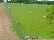 English: Mixed farming at Lychpole Farm This are of the downs alternates between cattle and sheep grazing, and crops. Some of the sheep seem interested in what is on the other side of the fence.