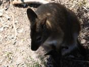 Bennett's Wallaby and Joey